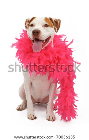A white and tan American Staffordshire Terrier dog wearing a pink feather boa