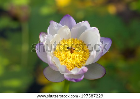 A white and violet lotus with a bee - stock photo