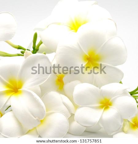 A white and yellow Plumeria flower- Frangipani, isolated on a white background - stock photo