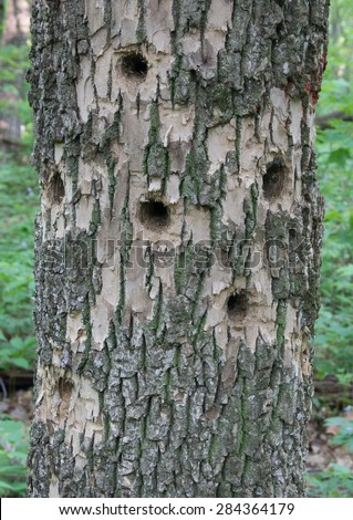 A white ash tree trunk riddled with holes made by woodpeckers in search of beetles and other insects. - stock photo