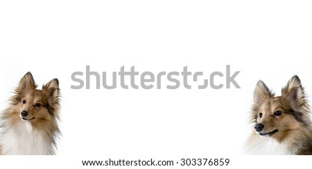 A white banner with two dogs peeking from the lower corners. There is plenty of room for text. Dog breeds are shetland sheepdogs. - stock photo