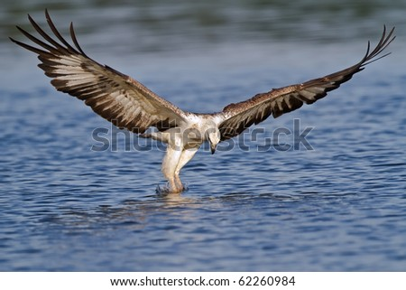 A white bellied sea eagle attacking a fish in the water - stock photo