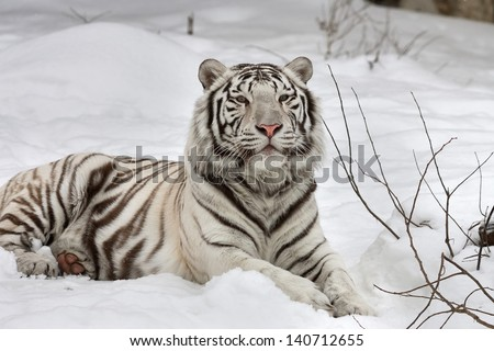 A white bengal tiger, calm lying on fresh snow. - stock photo