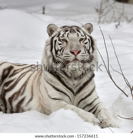 A white bengal tiger, calm lying on fresh snow. The most beautiful animal and very dangerous beast of the world. This severe raptor is a pearl of the wildlife. Animal face portrait. - stock photo