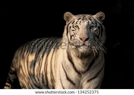 A white bengal tiger on dark background - stock photo