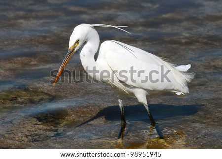 A white bird hunting for fish in Sharm El Sheikh, Egypt - stock photo