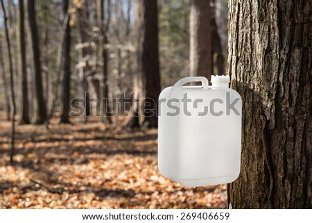 A white bottle is collecting sap from a maple tree in traditional rural fashion.  The sap will be converted into maple syrup.  Early morning light with selective focus and morning dew on the bottle. - stock photo