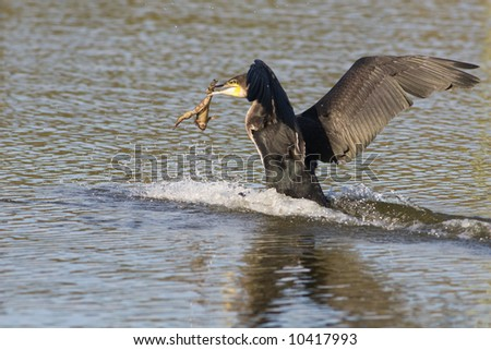 A white-breasted cormorant with captured prey in it's beak - stock photo