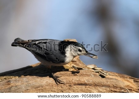 A White Breasted Nuthatch eating a seed from my feeder. - stock photo