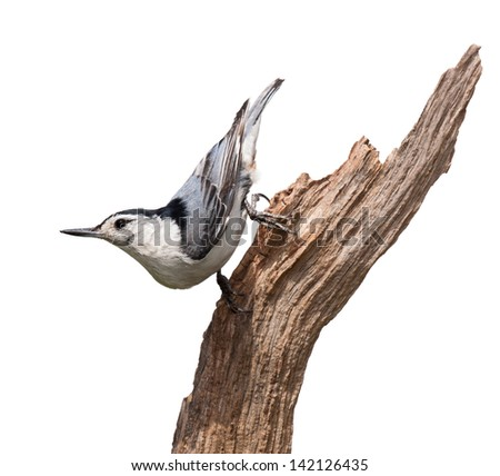 A white-breasted nuthatch struts down a piece of driftwood. The multi colored blue wing feathers,  with dashes of orange standout against its white breastplate. White background. - stock photo