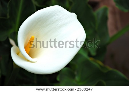 A white calla lilly in the Sacred Valley, Peru - stock photo