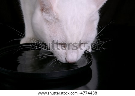 A white cat drinks water from a black dish. Black background.