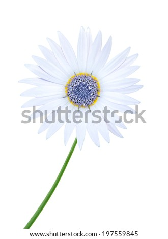 A white chamomile flower - stock photo