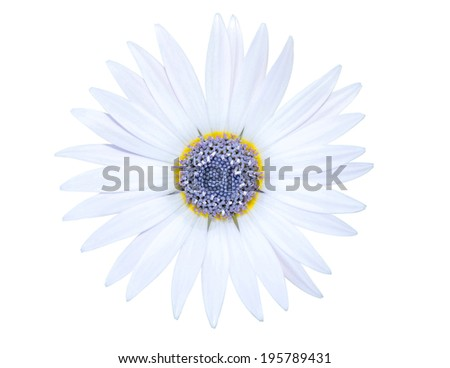 A white chamomile flower isolated with purple pistil - stock photo