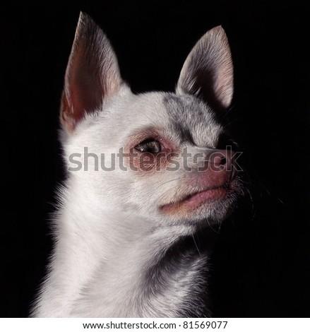 a white chihuahua - stock photo