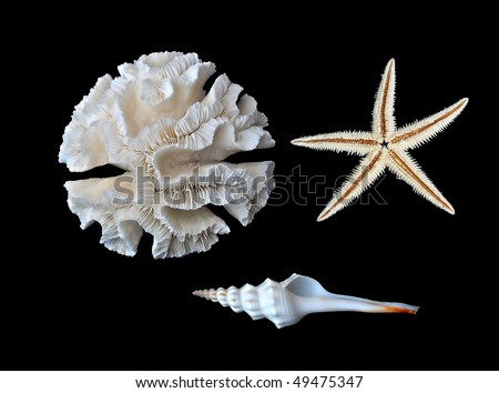 A white coral and two seashells on black background