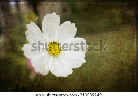 A white Cosmos flower with dark texture effect background. - stock photo