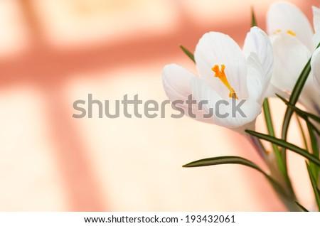 A white crocus on orange background .  - stock photo