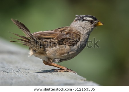A white-crowned sparrow just about to fly in Squamish, British Columbia, Canada