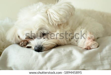 a white dog is happy time on a big pillow at the hotel - stock photo