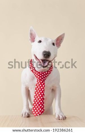 A white dog wearing a red and white tie. - stock photo