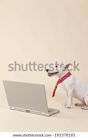 A white dog wearing a tie looking at an open laptop. - stock photo