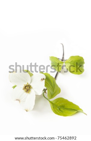 A white Dogwood bloom isolated on a white vertical background with focus on center of flower - stock photo
