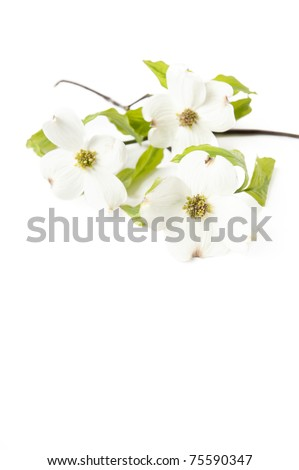 A white Dogwood branch with flowers on a white vertical background, focus on front flower - stock photo