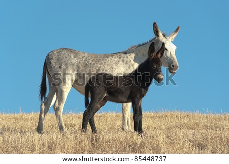 a white donkey and his black foal against blue sky