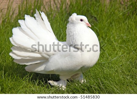 A white dove is on a greenfield - stock photo