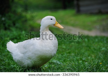 A white duck on the green grass field - stock photo