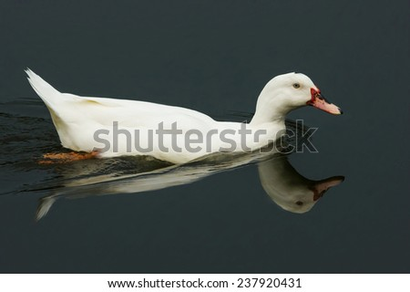 A White Duck Swims in Serene Water. With Reflections.