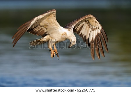A white eagle flying over the water - stock photo