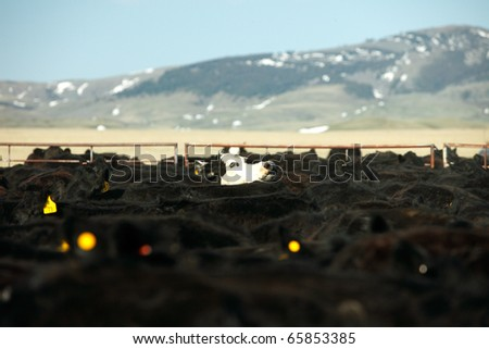 A white faced black Angus cow pokes its head above a herd of beef cattle. - stock photo