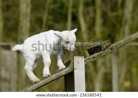 a white goat kids climb - stock photo