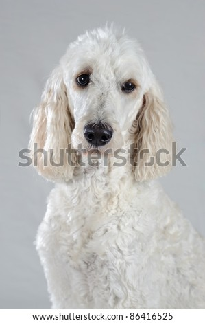 A white Golden Doodle is posed isolated on a grey background. She is white except for her ears. She looks similar to a standard poodle. - stock photo