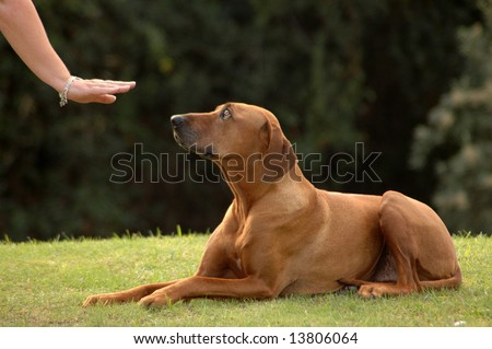 A white hand of a caucasian woman showing her obedient Rhodesian Ridgeback hound dog with cute expression in the face the sign without words for DOWN outdoors in the park - stock photo