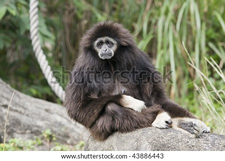A white handed Gibbon sitting on a rock. It looks sad, like it's contemplating some bad news. Many Gibbons come from Southeast Asia