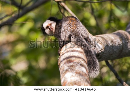 A white-headed marmoset sits on a tree and looks over his shoulder.