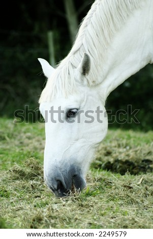 A white horse eating grass.  Shallow D.O.F - stock photo