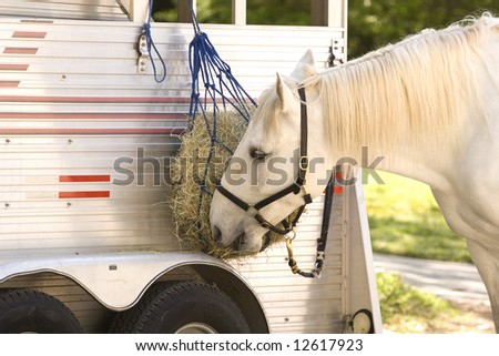 A white horse eating hay from a feedbag on a horse trailer - stock photo