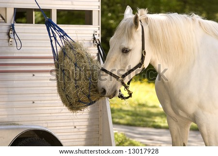 A white horse eating of of a feedbag hanging from a trailer - stock photo