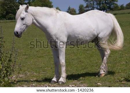 A white horse in a field - stock photo