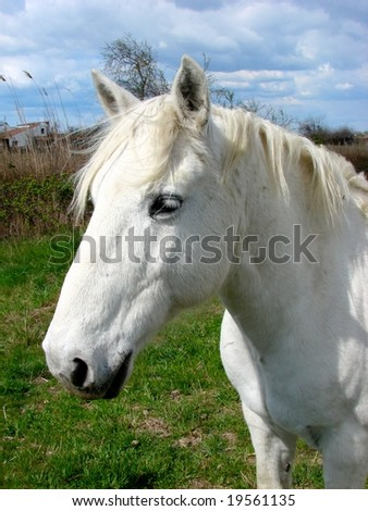A white horse in Camargue, Provence, France