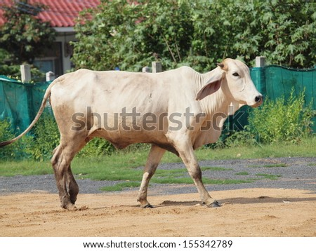 A white Indian cow standing  - stock photo