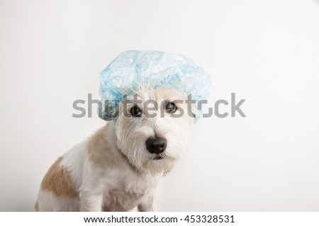 A white Jack Russell Terrier puppy dog before bath is dressed with a  bathing cap isolated on white background - stock photo
