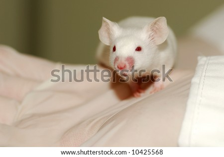 A white laboratory mouse (albino) as used in scientific experiments. - stock photo