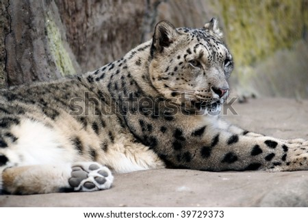 A white leopard lays on a rocky ledge