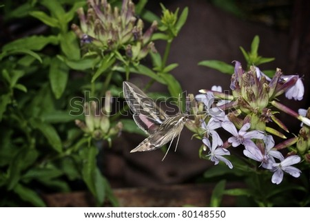 A White-lined Sphinx Hummingbird Moth feeding on a flower