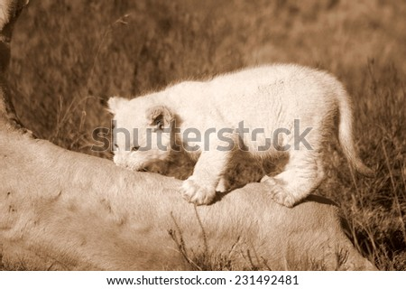 A white lion cub climbs on her mother. - stock photo
